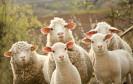 Das Internet der Schafe